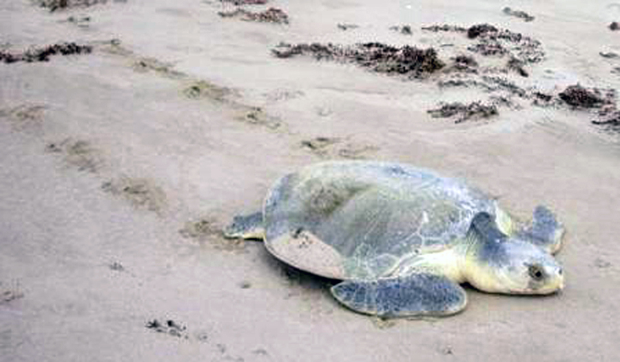 *sp turtle