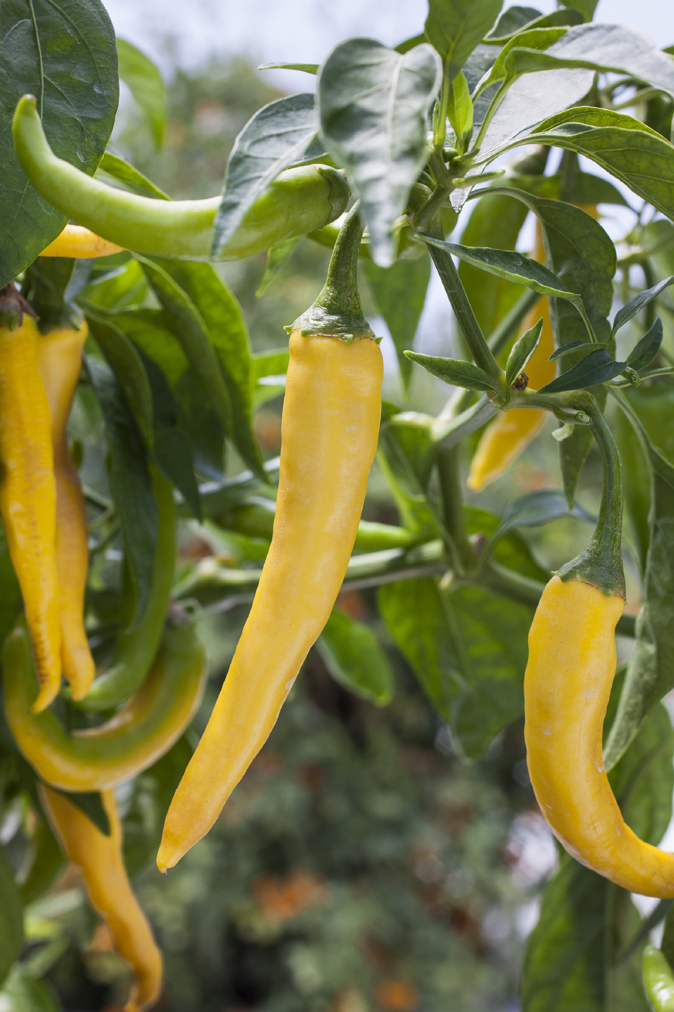 The truth about hot peppers