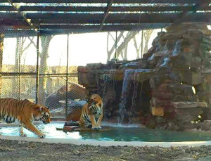 Tigers enjoy the waters in the newest enclosure at In-Sync called Amolly Wally Way