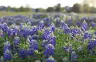 Bluebonnets: It's a spring thing