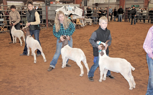 Junior stock showmen compete